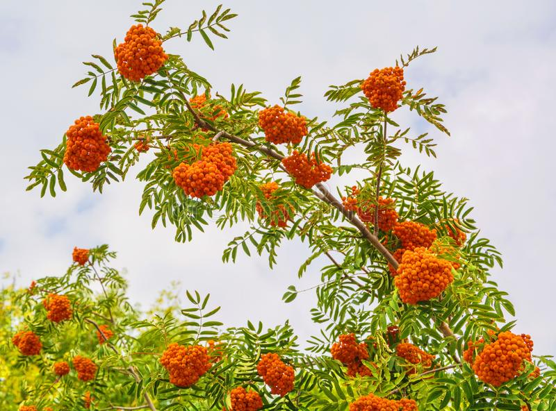 Clusters of mountain ash. Bright orange clusters of mountain ash royalty free stock photos
