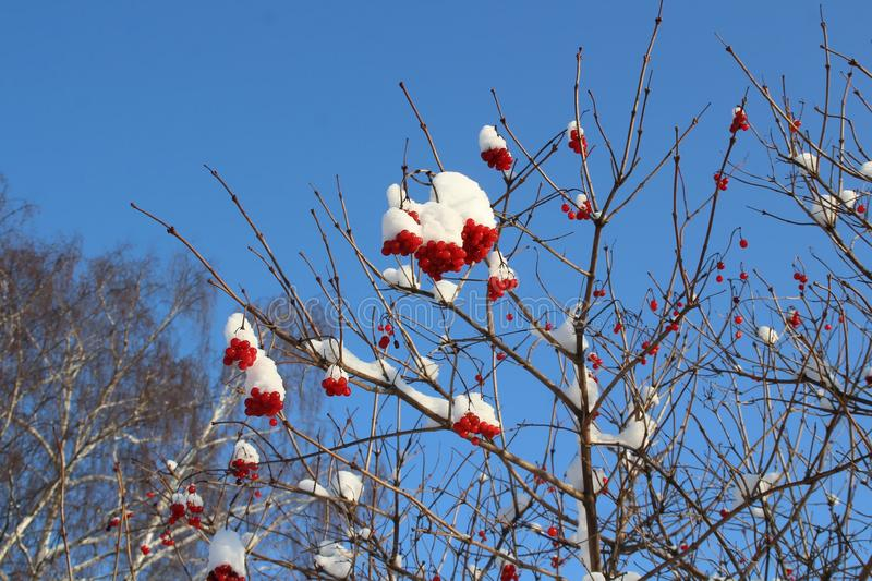 Clusters of mountain ash covered with snow. royalty free stock photography