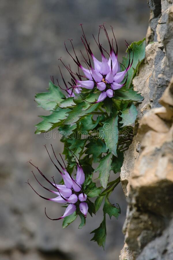 Free Clusters Of Devil`s Claw Physoplexis Comosa, A Rare Alpine Plant In Flower In The Italian Alps And Dolomiti Area. Stock Images - 184552324