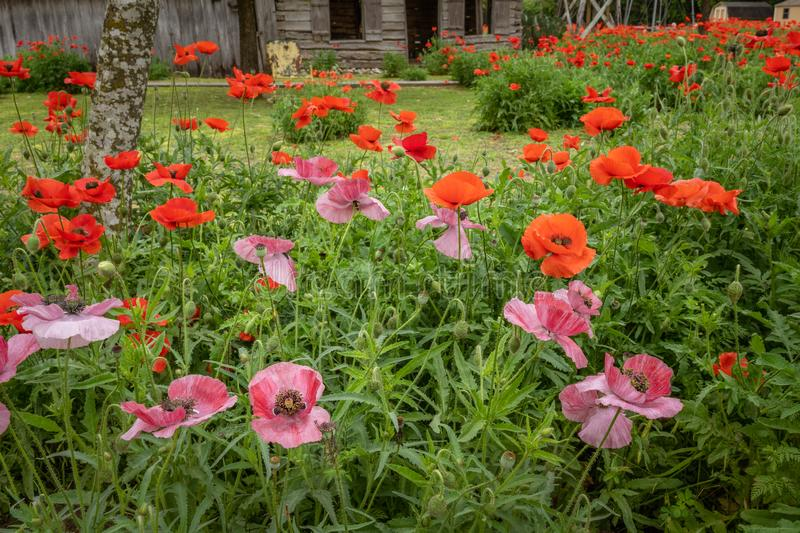 Clusters of pink and red poppies. With old wooden historic bulding in the background stock photo