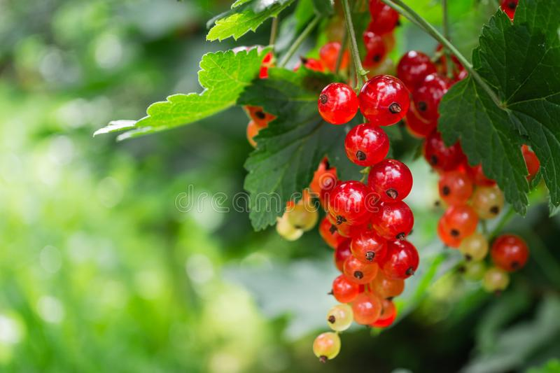 clusters of red currant on a branch. berries in the home garden. useful natural vitamins royalty free stock image