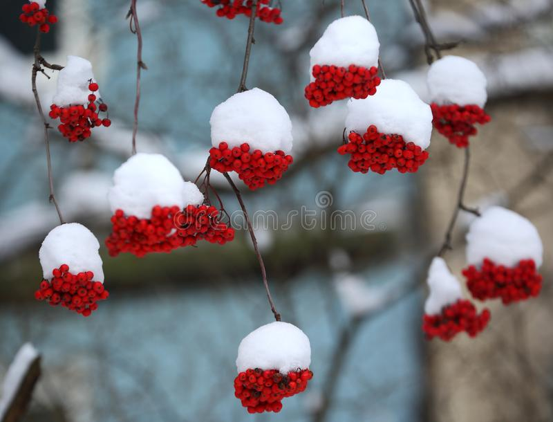 Clusters of red Rowan berries under white snow. A clusters of red Rowan berries under white snow stock photos