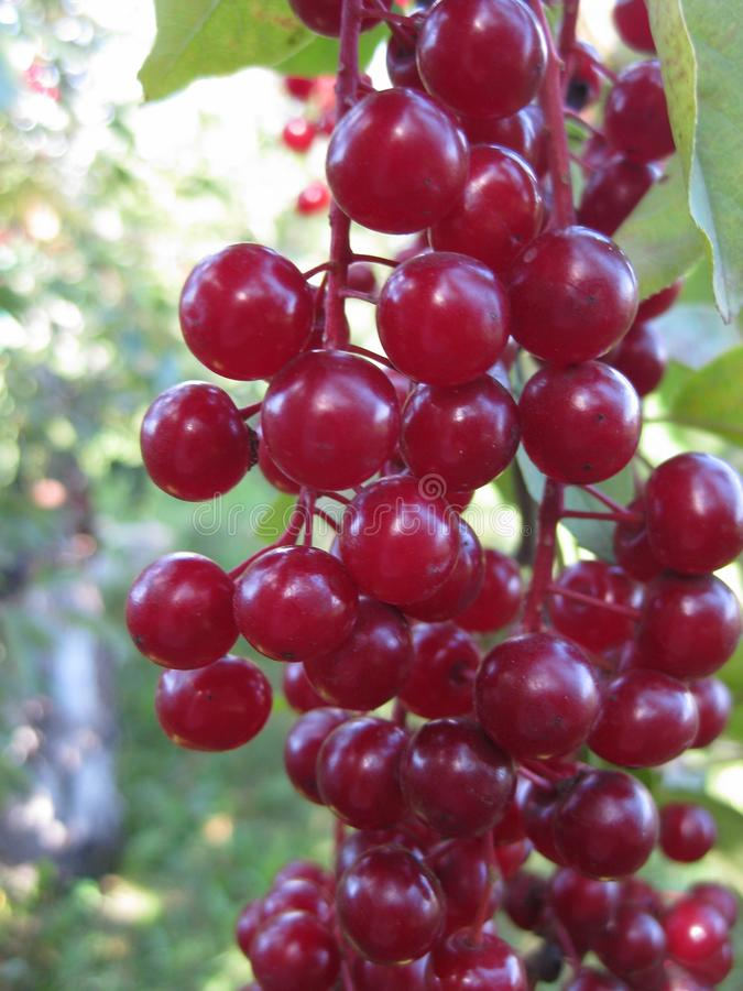 Clusters of red virgin cherry ripen on a Sunny day. Bird cherry. stock photos