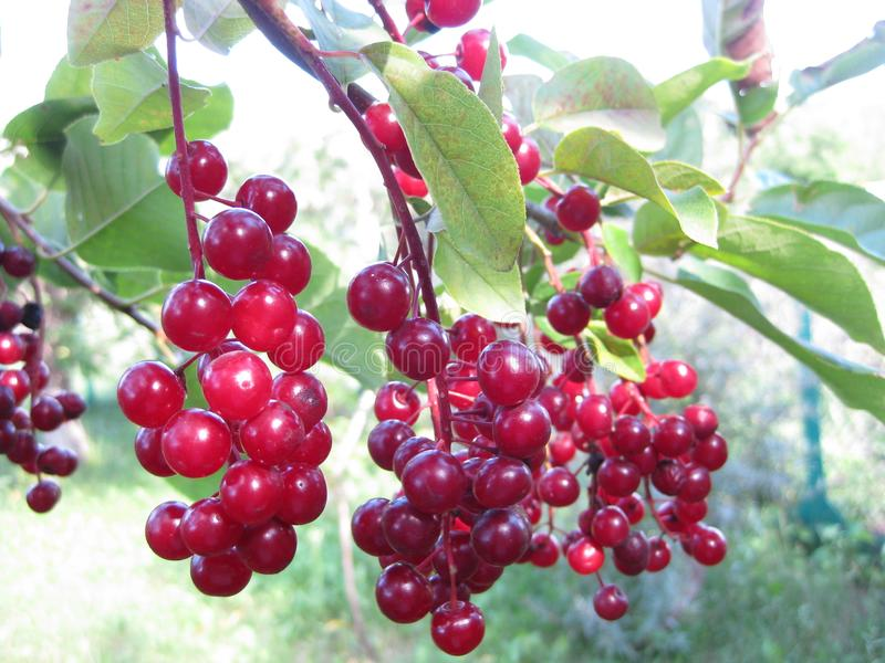 Clusters of red virgin cherry ripen on a Sunny day. Bird cherry. stock photography