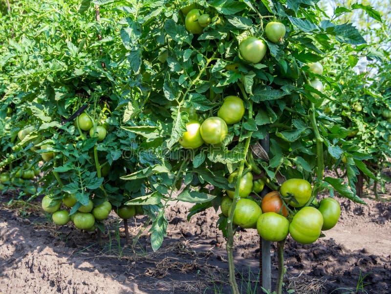 Clusters van rijpende tomaten op grote tomatenstruiken royalty-vrije stock fotografie
