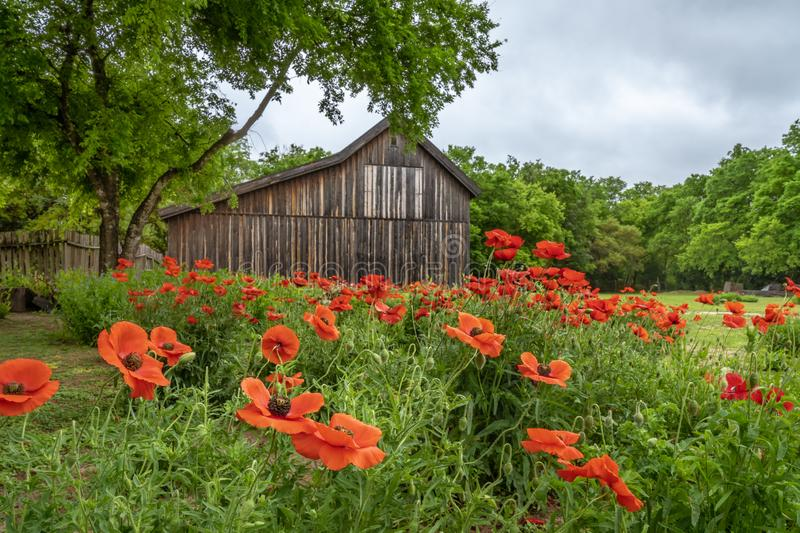 Clusters of vivid red poppies. In front of an old rustic barn stock image
