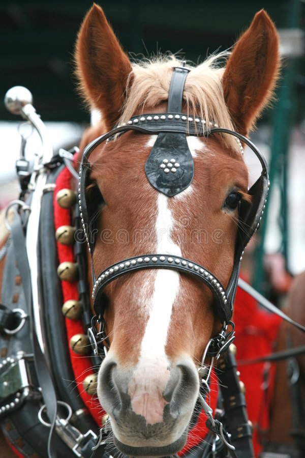 Download Clydesdale Royalty Free Stock Photo - Image: 3765595