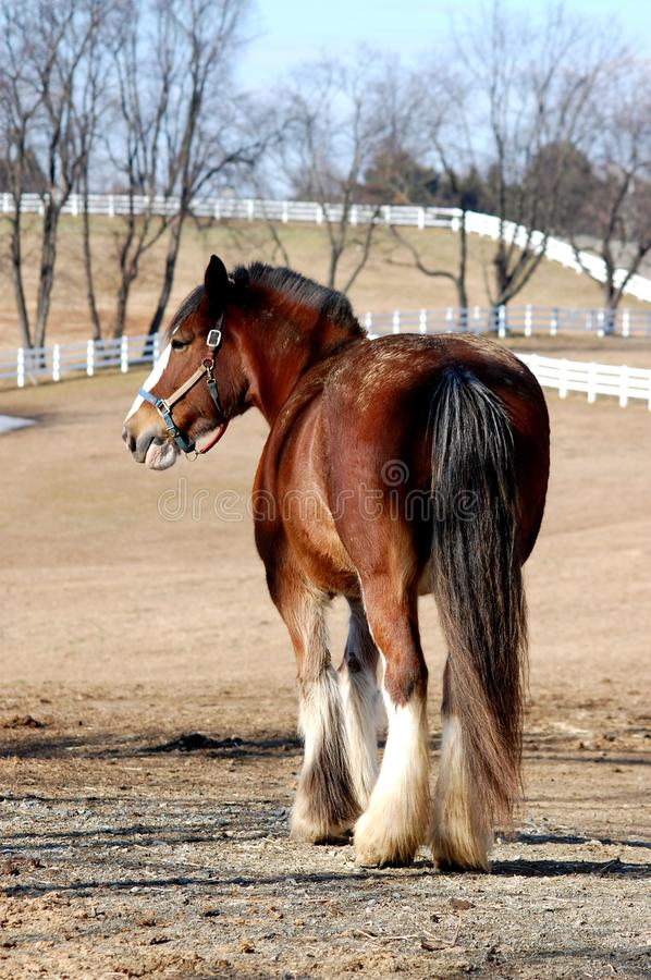 clydesdale obrazy royalty free