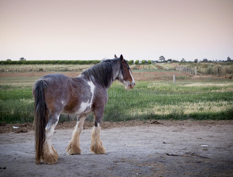 Clydesdale Horse. Majestic Clydesdale horse in profile at dusk royalty free stock photo