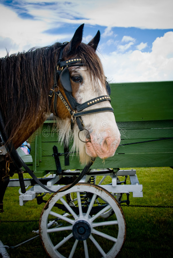 Clydesdale horse. Waiting to be harnessed to cart to work stock image