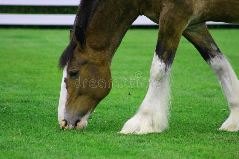 Clydesdale horse. Grazing on grass royalty free stock image