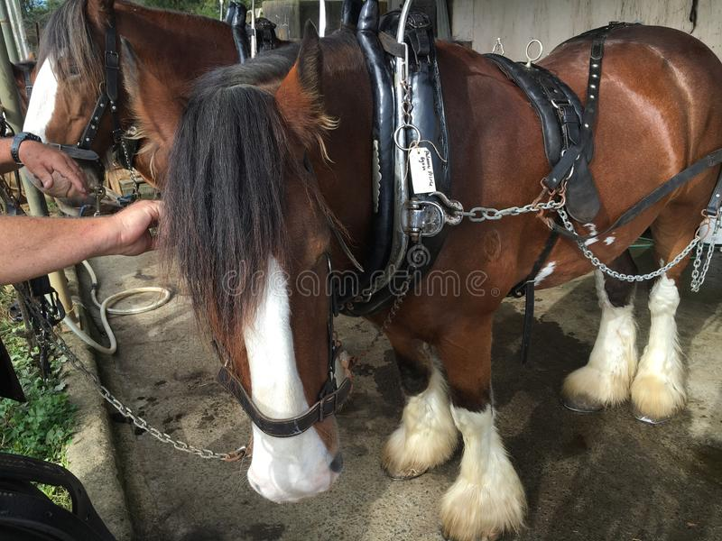 Clydesdale Horse royalty free stock photo