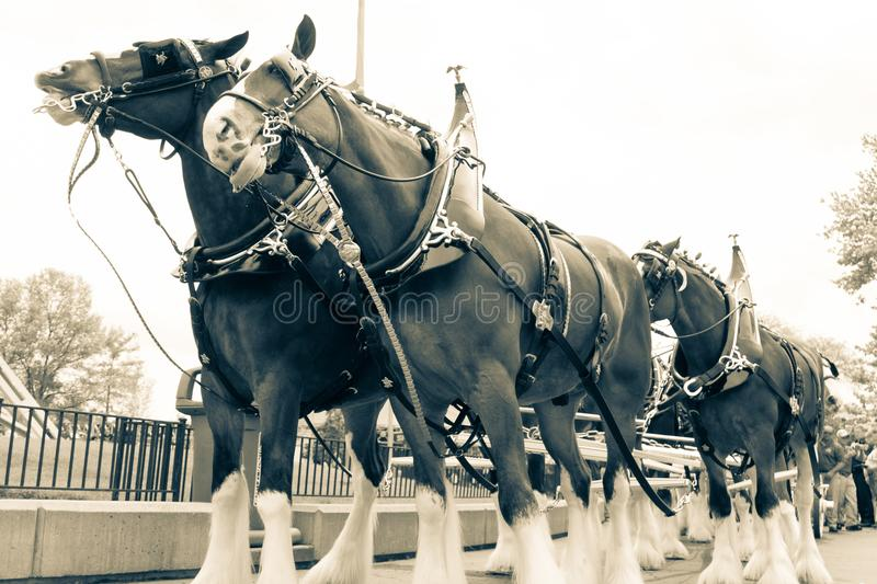 Clydesdale Horse Line Up royalty free stock photography