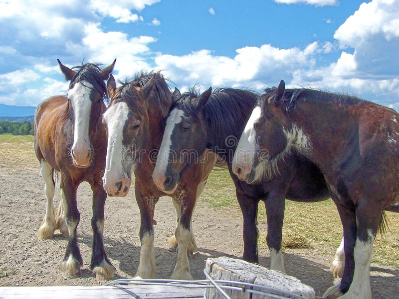 Clydesdale horses four. Gathered together and resting after a haul are the work horses stock photos