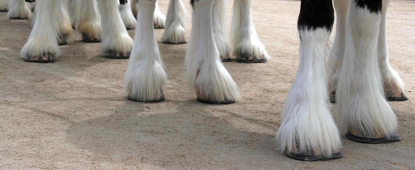 Download Clydesdale Line stock image. Image of equines, beer, farm - 2302279
