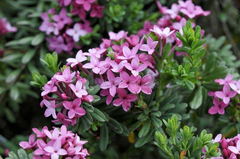 Cneorum di Daphne fotografie stock libere da diritti