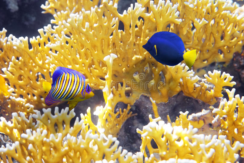 Cnidarians coral, Angel-fish foto de stock royalty free
