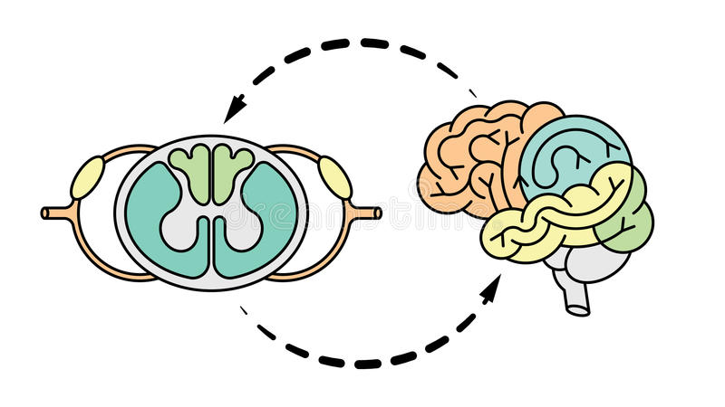 Cns hersenen en spnalkoord vector illustratie
