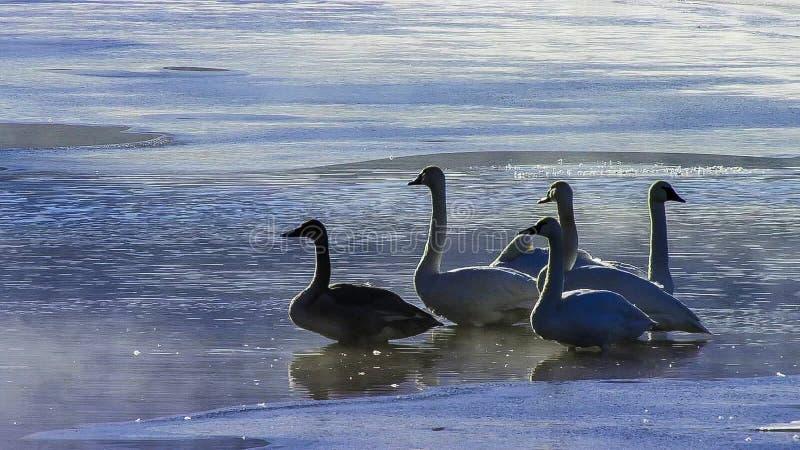 Coëxisterende grote aigrette en sneeuwgans in gedeeltelijk bevroren rivier royalty-vrije stock foto