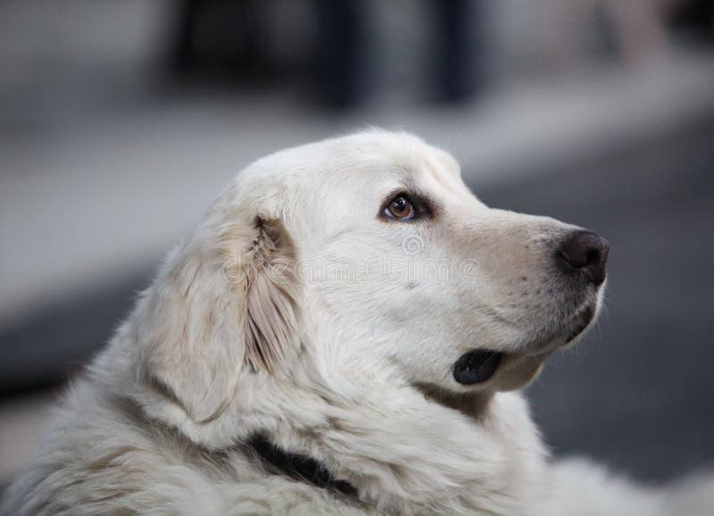 собака большие pyrenees стоковое изображение