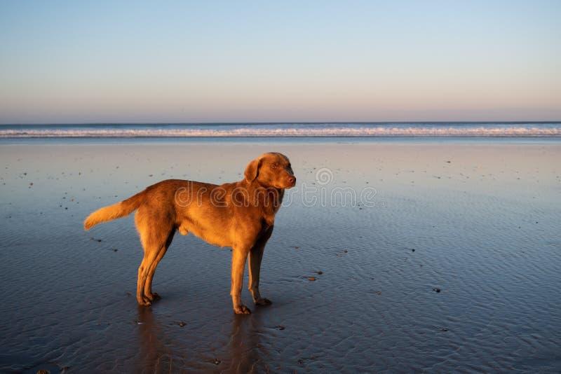 Собака на побережье Sidi Kaouki, Марокко, Африки время захода солнца рискованного предприятия выдержки Марокко городок прибоя чуд стоковая фотография