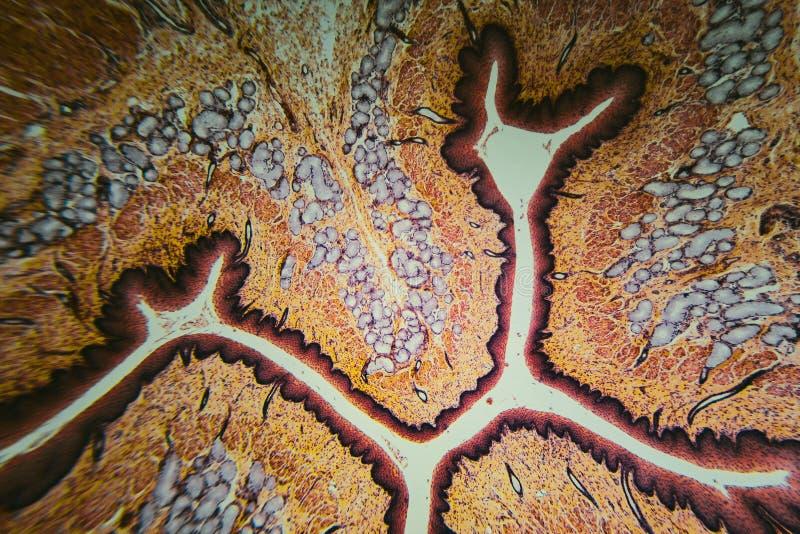 Собака esophagus поперечного сечения бесплатная иллюстрация