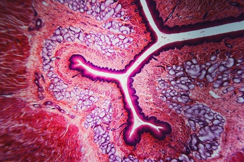 Собака esophagus поперечного сечения иллюстрация вектора