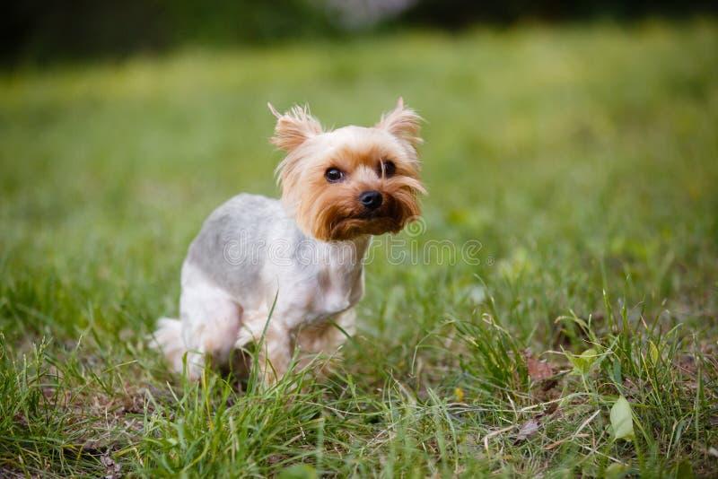 Собака Pomeranian внешняя стоковое фото