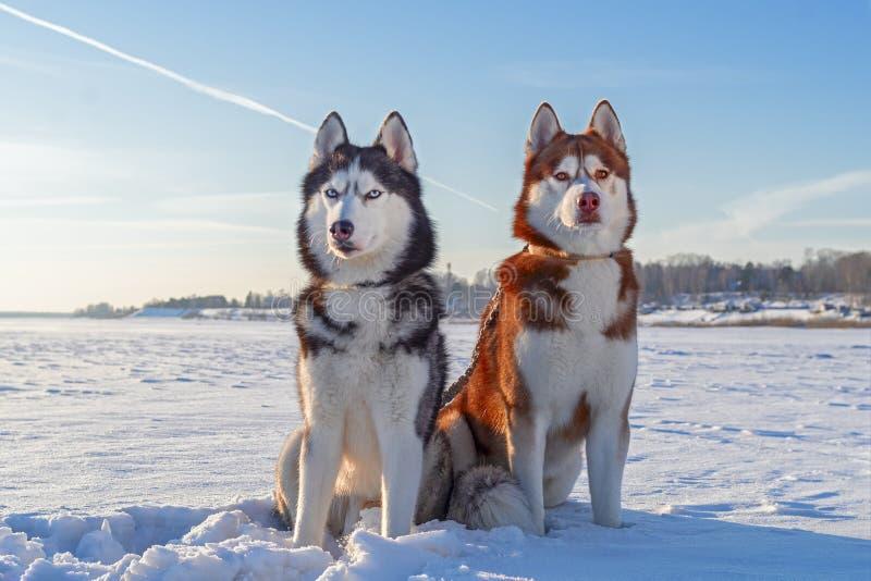 Собаки портрета 2 зимы милые сибирские сиплые против голубого неба и поля снега стоковые фото