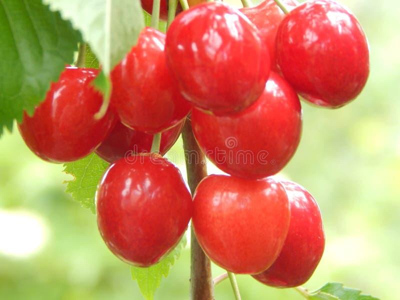 Созретая вишня большой, красной ягоды сладкая и готова к использованию стоковые изображения