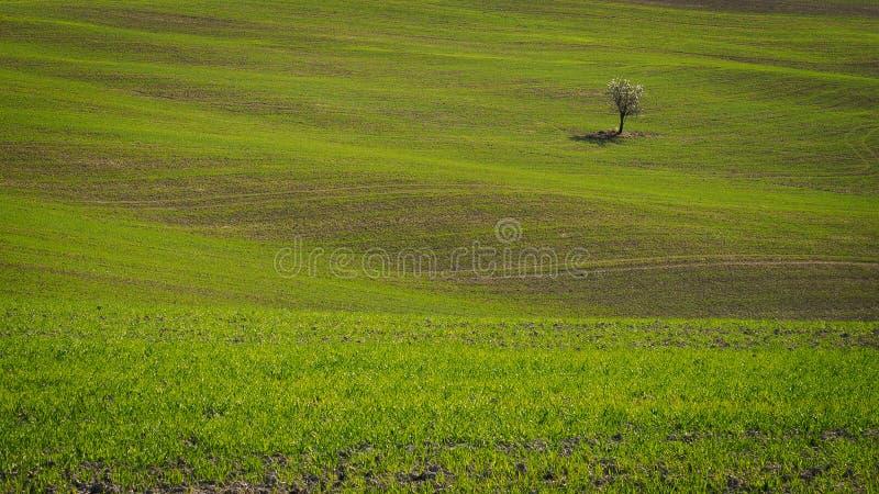 Солитарное дерево на тосканском Rolling Hills около городка ренессанса Pienza в Италии стоковые фотографии rf