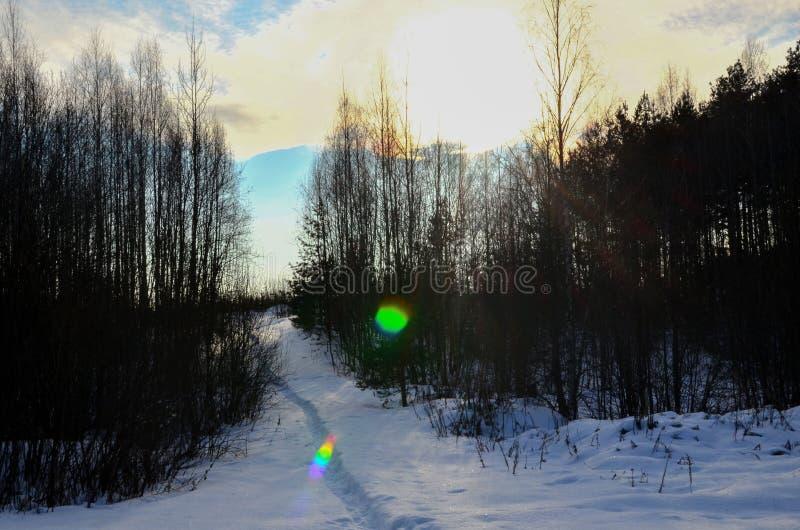 Солнечный луч делает своим путем через ели в лесе концепцию натиска  стоковое изображение