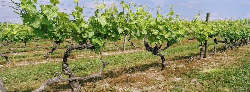 Coñac panorámico Francia del viñedo imagen de archivo