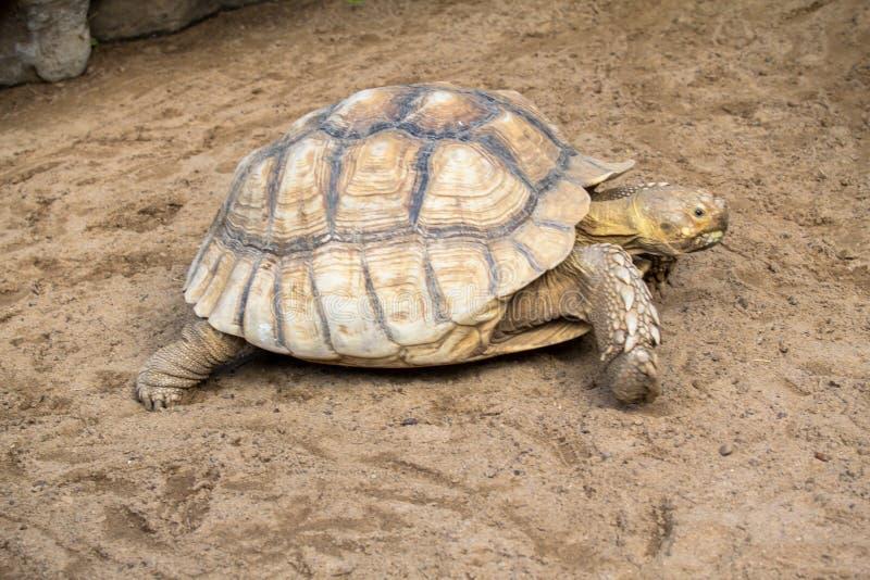 coahuilan χελώνα κιβωτίων στοκ φωτογραφίες με δικαίωμα ελεύθερης χρήσης