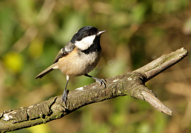 Download Coal Tit Stock Photos - Image: 13008163
