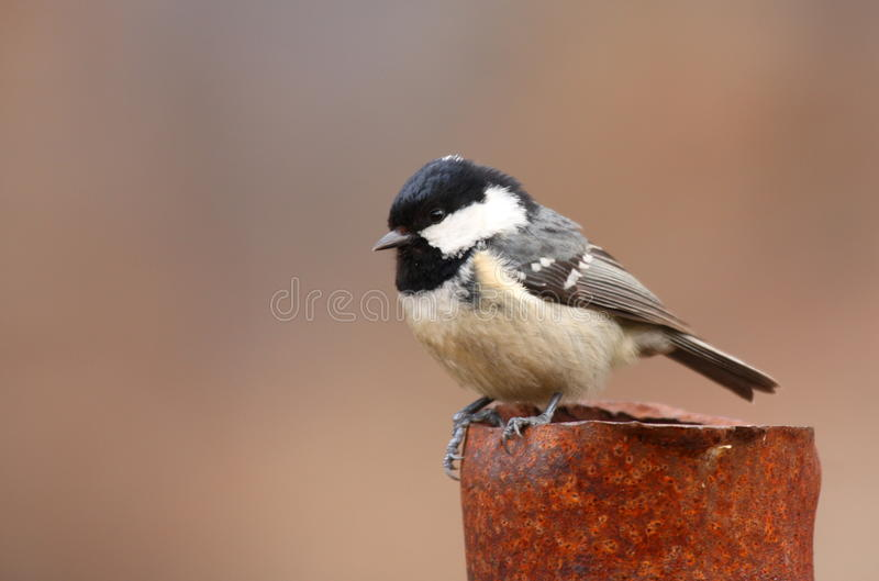 Coal tit stock images