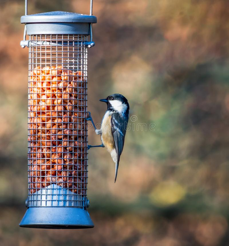 Coal tit on a bird feeder royalty free stock image