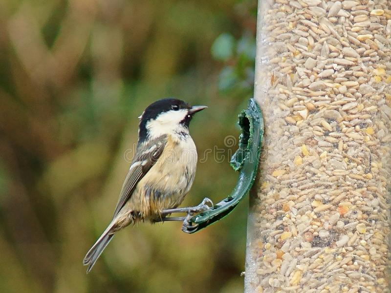Coal tit on bird feeder royalty free stock photography