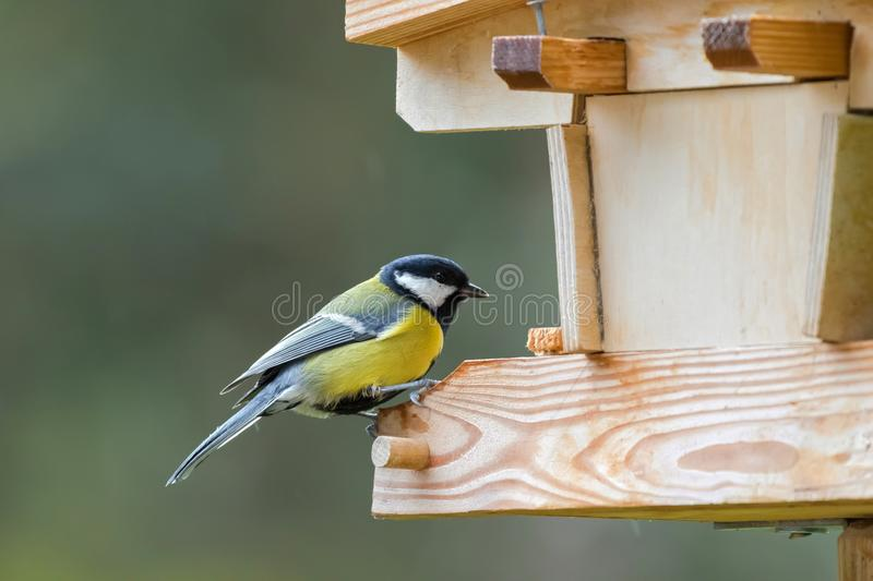 Coal tit bird in yellow grey with black white nape perching on w royalty free stock photos