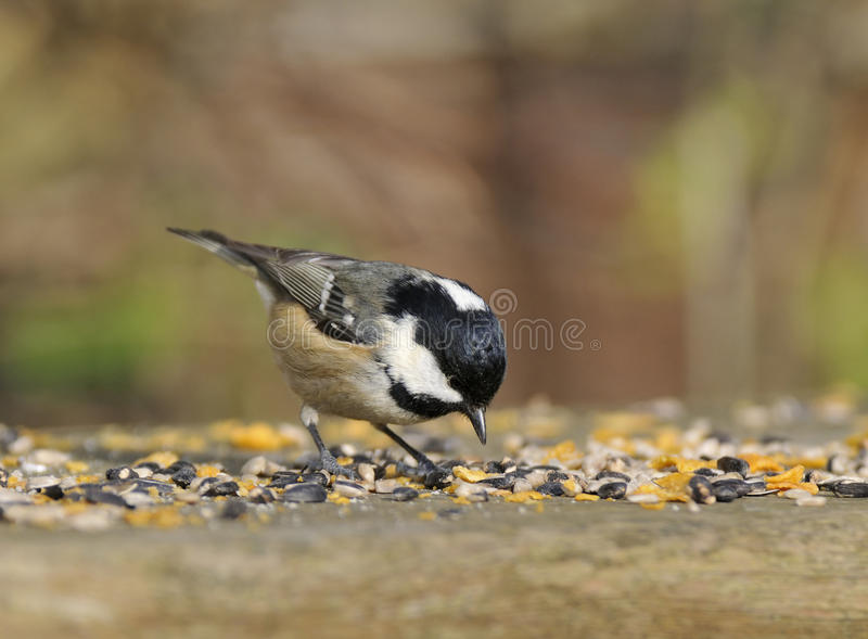 Download Coal Tit - Parus ater stock image. Image of white, nature - 13406747