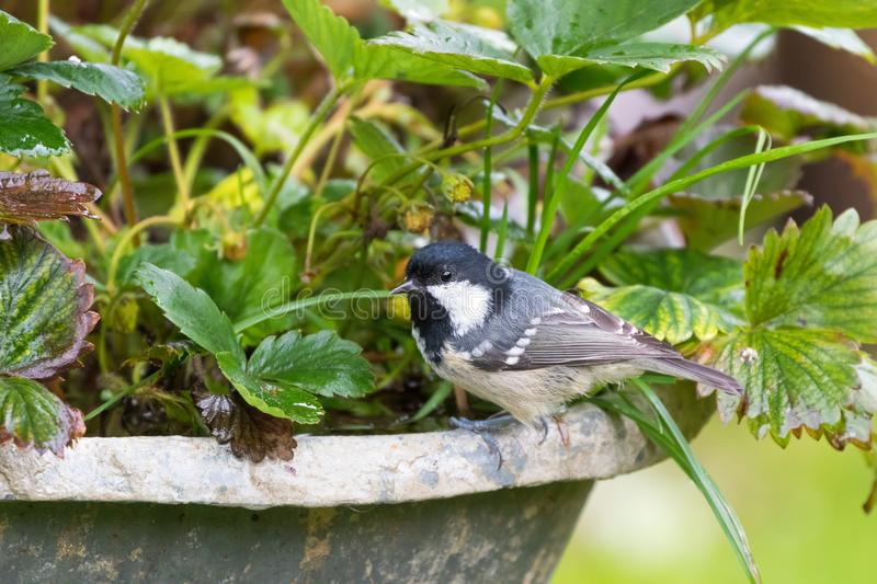 Coal tit, passerine bird in yellow grey with black white nape sp royalty free stock photography