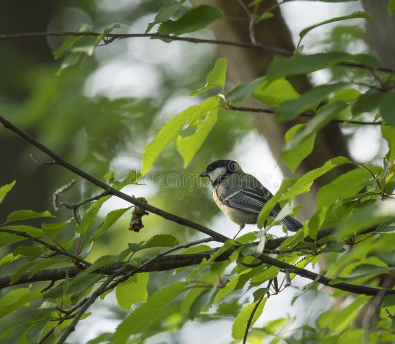 Coal tit, Periparus ater sitting on the branch with spring green leaves . Wildlife scene from nature. Song bird in the royalty free stock photography