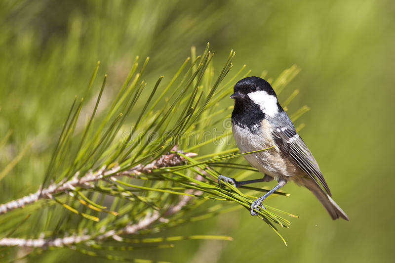 Coal Tit on A Pine Tree (Parus ater) stock images