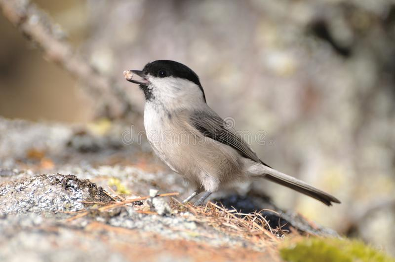 Coal Tit on a rock, side view