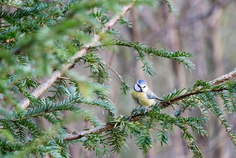 An coal tit royalty free stock images