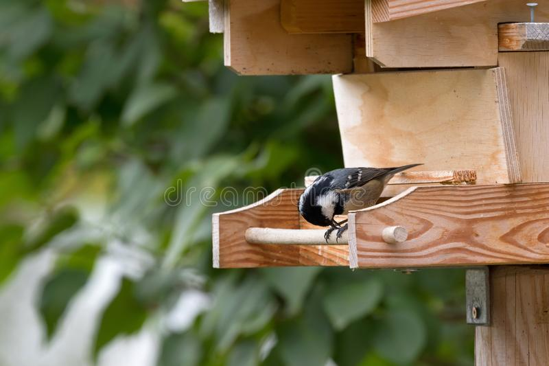 Coal tit, small passerine bird feeding on seed, perching on wood stock photography