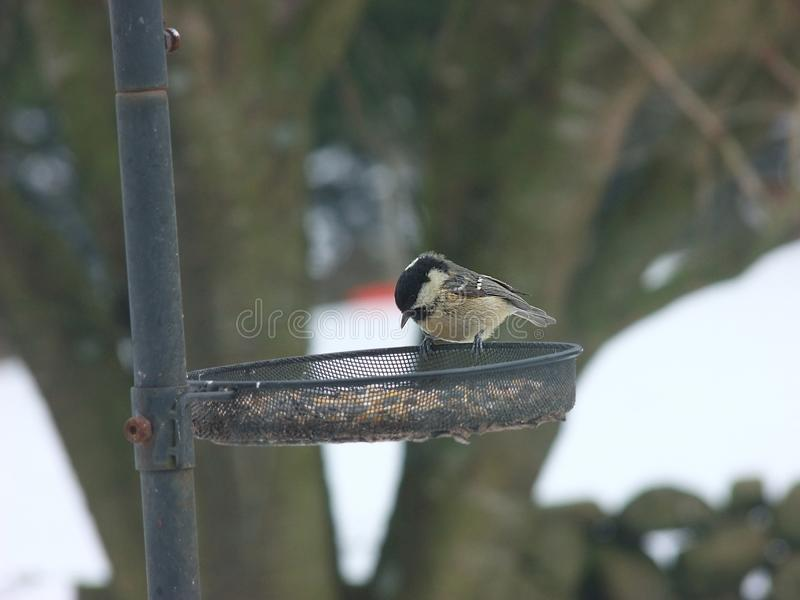 Coal Tit in snow on bird table stock photography