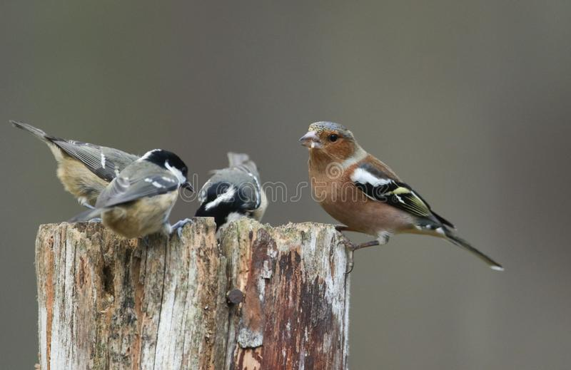 Coal Tits Periparus ater and a Chaffinch Fringilla coelebs perching on a wooden post and feeding on seeds in the Abernathy for. Coal Tits Periparus ater and a stock photo