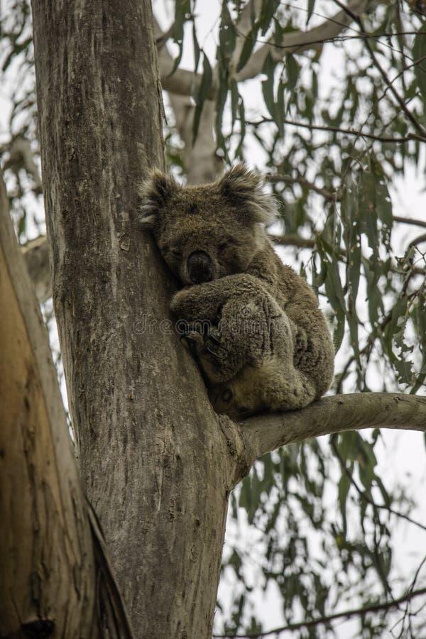 Coala спать на ветви эвкалипта его любимая еда листья эвкалипта стоковые фотографии rf