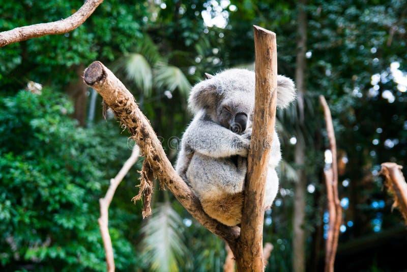 Coala animal australiana nativa que descansa nos membros de madeira cercados por arbustos e por árvores australianos verdes, mamí fotos de stock royalty free